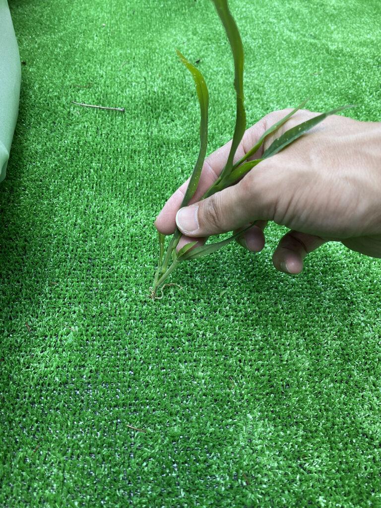 防草シートなしで人工芝を敷いた箇所の草むしり